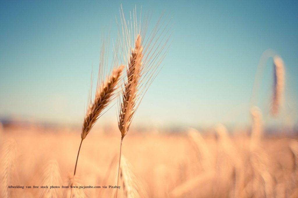 oogst-eersteling-wekenfeest-graan
