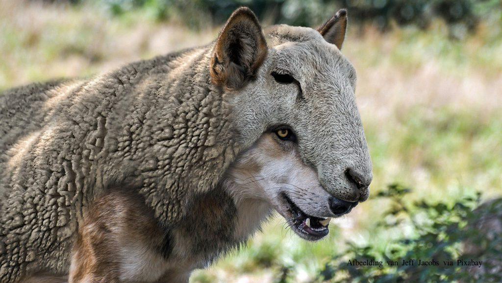 wolf in schaapskleren